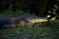 """Moma"" Alligator in the late afternoon sun outside Clyde Butcher's Gallery. Winter Nature in Florida Image taken with a Fuji X-T2 camera and 100-400 mm OIS telephoto zoom lens."