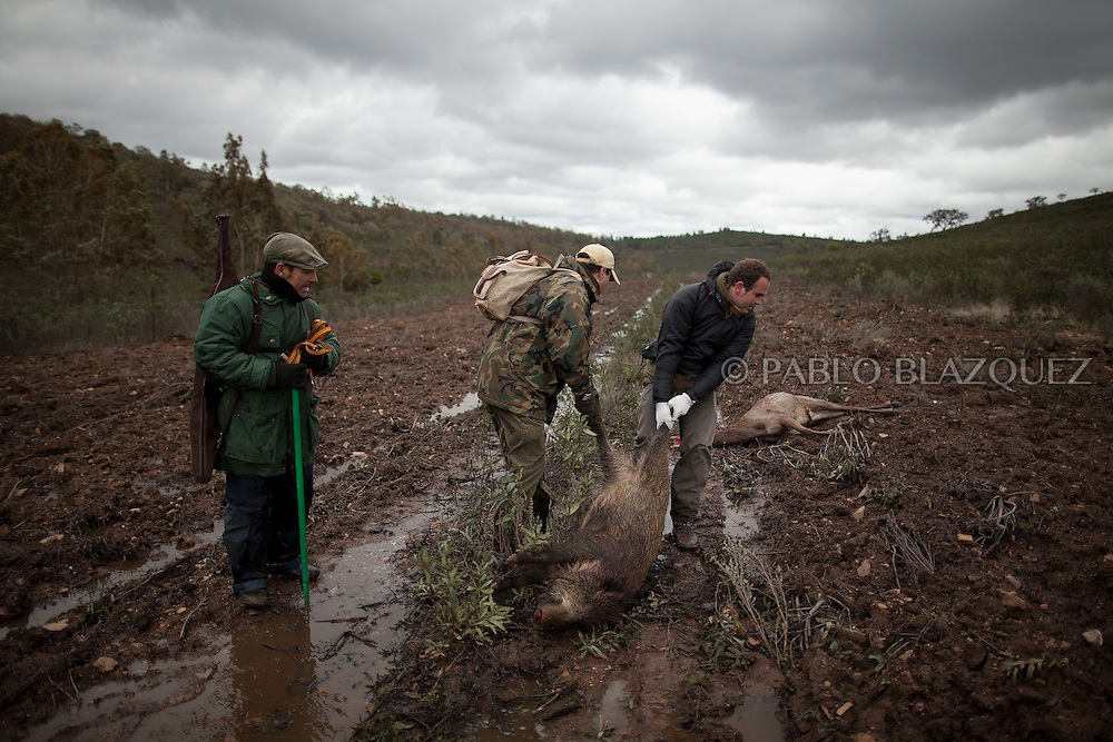 Hunters pull a dead wild boar at a dirt road after a hunting session near Carbajo on January 19 2013, in Caceres Province, Extremadura, Spain. .Caceres has a well preserved natural environment. Plenty of its surface is dedicated to deers and wild boars hunting, making this, an important part of its economy. But most of the land belongs to large landowners. .In Carbajo, people gather three times a year to hunt deers and wild boars. In the past, they used to hunt for eating, but now days, they practice it as an sport and a social event. Then, they sell what the catch as wild game meat.