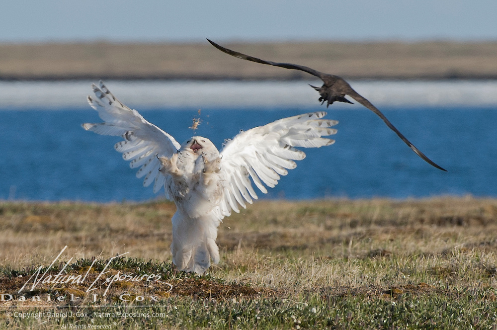 Female snowy owl (Bubo scandiacus) being mobbed or attacked by a Parasitic Jaeger (Stercorarius parasiticus). North slope of the Brooks Range, Alaska