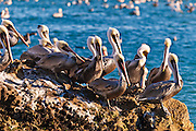California brown pelicans (Pelecanus occidentalis), Avila Beach, California USA