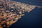 Fallen Autumn Maple leaves on road surface with newly-laid tarmac.