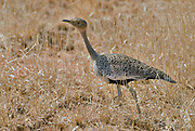 Female of Buff-crested Bustard, Eupodotis gindiana, from Samburu NP, Kenya.