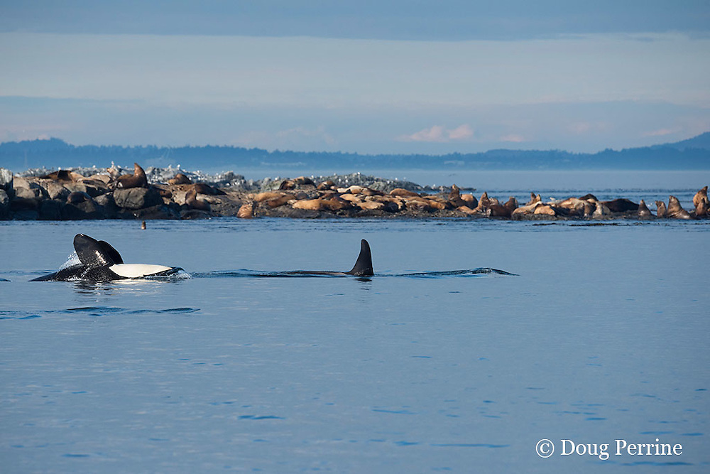 resident orca, or killer whales, Orcinus orca, swim past a mixed colony of Steller sea lions and California sea lions, by Race Rock, off southern Vancouver Island, Strait of Juan de Fuca, Canada; one orca is swimming upside down