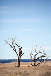 two Cottonwood trees in Winter on a ranch