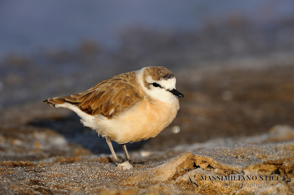The White-fronted Plover or White-fronted Sandplover (Charadrius marginatus) is a small wader. This plover is resident in much of Africa south of the Sahara on rocky, sandy or muddy coasts and large inland rivers and lakes.<br /> Adults are 16&ndash;18 cm in length, and are paler than similar species. The breeding adult has medium brown upperparts, with a white hind neck collar and a brilliant white forehead extending back in a conspicuous wedge between the eye and the crown. There is a black line through the eye and a black frontal bar to the crown. The underparts are white with a variable cream or buff wash to the breast. There may be rufous patches on the breast sides. The bill is black and the legs yellowish-grey.<br /> Non-breeding adults are greyer than the breeding birds, and the black head marking are replaced by brown. The frontal bar may be absent in some females. The juvenile White-fronted Plover resembles the non-breeding adult, but has white underparts and no black on the head.<br /> The White-fronted Plover's breeding habitat is sandy beaches; the eggs are laid directly on the sand, and may be buried. The adults will take water to the nest in their breast feathers. It feeds actively with fast runs like a Sanderling, usually hunting by sight for insects, crustaceans and worms. This is a gregarious species which forms flocks, often with other waders.
