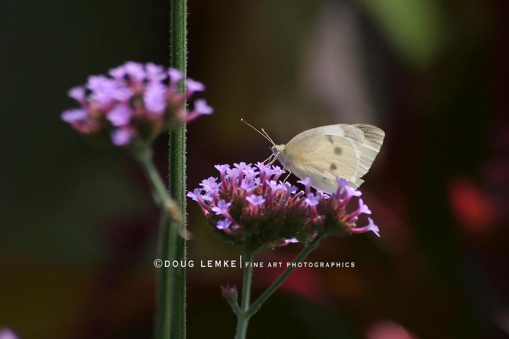 Butterfly, Cabbage White, Pieris rapae, Nectaring On Brazilian Verbena