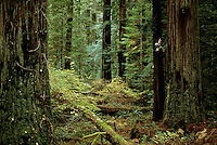 Coast redwood grove at Bull Creek Flats.  This stand of redwoods is the tallest group of trees  in the world.  It includes 90% of the known trees over 350 feet tall...Botanist Steve Sillett starts a climb.
