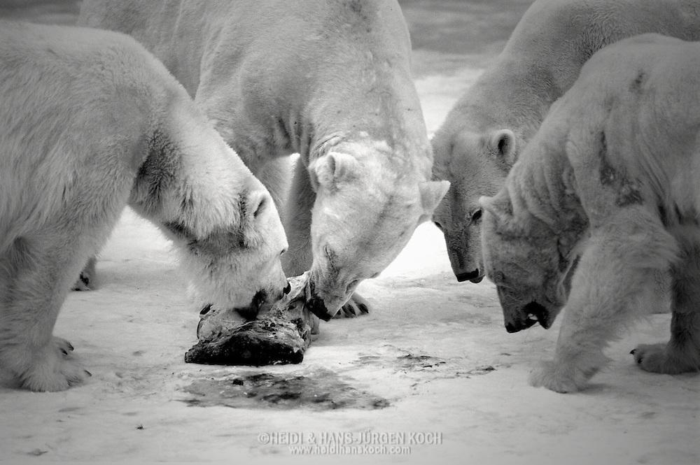 Schweden, SWE, Kolmarden, 2000: Vier Eisbaeren (Ursus maritimus) fressen von einem toten Seehund, Kolmardens Djurpark. | Sweden, SWE, Kolmarden, 2000: Polar bear, Ursus maritimus, four rivals together at a dead seal, feeding on the seal, Kolmardens Djurpark. |