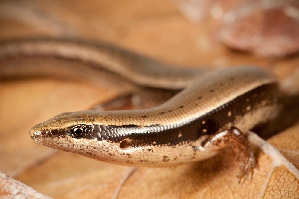 Hispaniolan Khaki Galliwasp, Celestus curtissi, a Vulnerable species on Ile de La Gonave, Haiti