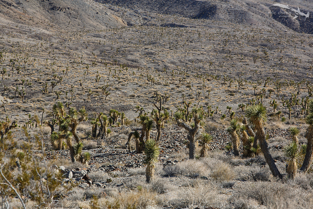 Cacti on the road to the Racetrack, Death Valley.