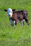 Baby Cow, Southland New Zealand