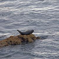 USA, California, Monterey. Seal on rock along 17-Mile Drive.