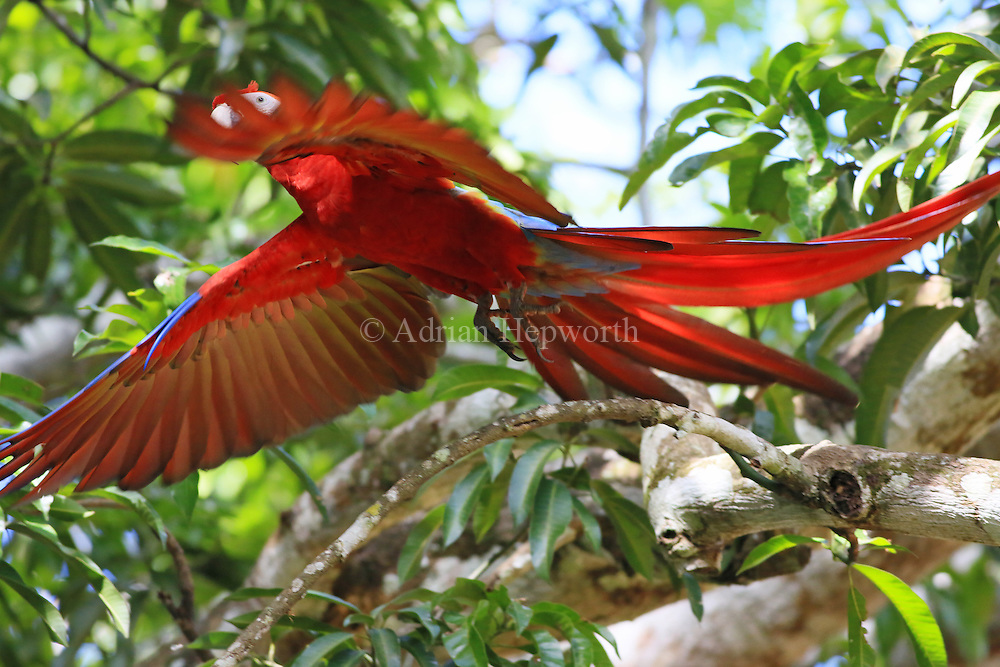 Scarlet Macaw (Ara macao) flying. Guanacaste, Costa Rica. <br /> <br /> For pricing click on ADD TO CART (above). We accept payments via PayPal.