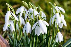 13.03.2016, Moehnesee, GER, Fruehlingserwachen in der Natur, im Bild Schneegloeckchen bluehen auf // Snowdrops bloom on at Moehnesee, Germany on 2016/03/13. EXPA Pictures © 2016, PhotoCredit: EXPA/ Eibner-Pressefoto/ Hommes<br /> <br /> *****ATTENTION - OUT of GER*****
