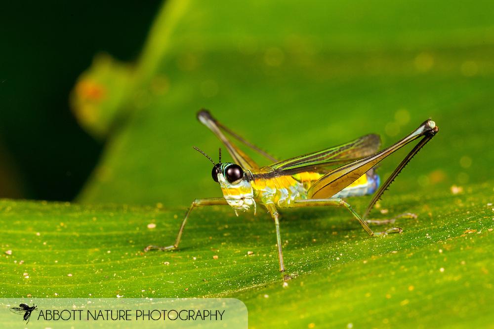 Monkey Grasshopper (Paramastax sp.)<br /> Peru: Departamento de Madre de Dios Co.<br /> Refugio Amazonas on the Tambopata River<br /> 30-Jul-2016<br /> J.C. Abbott #2857 &amp; K.K. Abbott