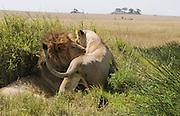 Africa, Tanzania, Ngorongoro Ngorongoro Conservation Area (NCA) Lion (Panthera leo) and lioness mating