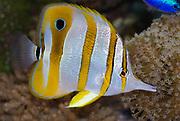 Copperband Butterflyfish, Chelmon rostratus.