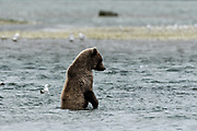 A brown bear yearling cub stands up in the water while hunting for salmon at the McNeil River State Game Sanctuary on the Kenai Peninsula, Alaska. The remote site is accessed only with a special permit and is the world's largest seasonal population of brown bears in their natural environment.