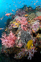 Healthy Reef Teeming with Hard and Soft Corals, Anthias, and Damsels
