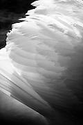 Mute swan's wing (Cygnus olor)