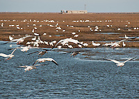 """Snow Geese on """"final"""" approach to land among the Snows already on the Brigentine Marsh.   Bulding in background is the old """"fish factory"""""""