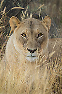A lioness sits at the edge of dense undergrowth, Naan Ku Se Wildlife Sanctuary, Namibia.