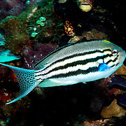 Blackstripe Angelfish inhabit reefs, picture taken Raja Ampat, Indonesia