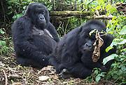 Rwanda, Volcanoes National Park (Parc National des Volcans) Gorilla family