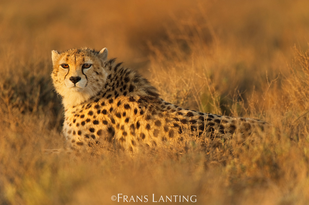 Asiatic cheetah (captive, Koushki), Acinonyx jubatus venaticus, Miandasht Wildlife Reserve, Iran