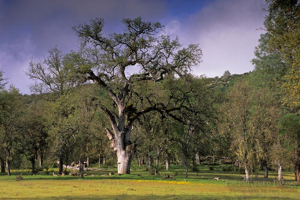 Oak trees, green grass, and wildflowers in spring, San Antonio Valley, Santa Clara County, California