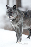 Wild wolf in a snowstorm