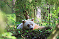 Spirit bear in the Great Bear Rainforest, British Columbia, Canada