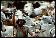 Cowboy throws lasso at cattle as he 'cuts' herd on jungle ranch near Eirunepe, Amazonas. Brazil