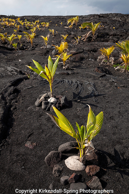 HI00356-00...HAWAI'I - Coconut trees planted in a lava field near Kaimu on the island of Hawai'i.