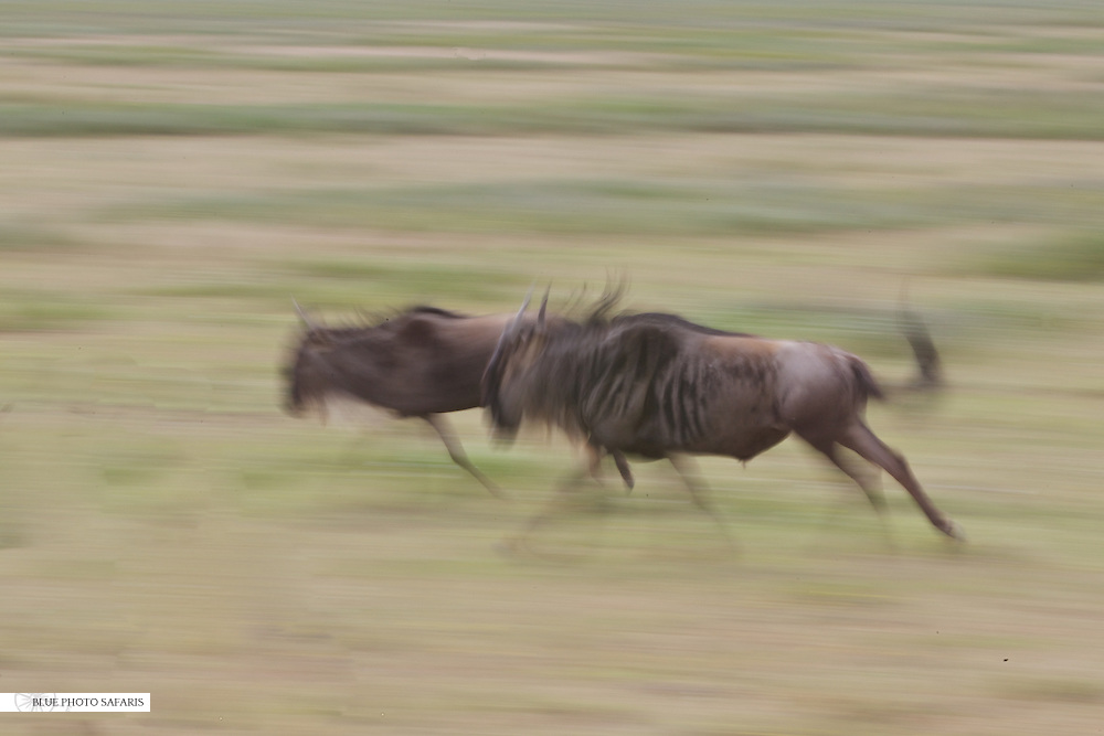 Wildebeest motion blur