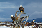 Bald eagles in Alaska perched on driftwood