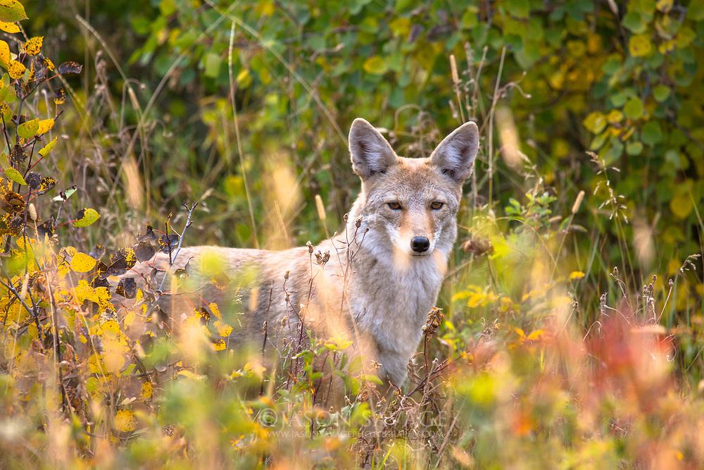 Coyote in Glacier National Park