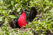 A male Great Frigatebird (Fregata minor) performs a courtship display with an inflated gular sac. Midway Atoll National Wildlife Refuge.