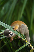 Common Squirrel Monkey (Saimiri sciureus) CAPTIVE<br /> Amazon Rain Forest. ECUADOR. South America<br /> These are medium sized diurnal monkey that do not have a prehensile tail.  They are arboreal and live in large troops of 25 - 100 individuals. They spend most of the day moving rapidly through the vegetation in search of fruit, insects, caterpillars etc. They often associate with capuchin monkeys.<br /> RANGE: South America in the Amazon Basin and Guianas.<br /> STATUS: CITES II.  Usually they are not hunted for food as they are too small unless other species have been hunted out.