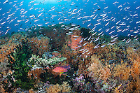 Colorful Soft Corals and Reef Fish<br /> <br /> Shot in Indonesia