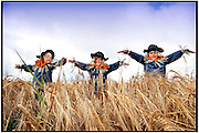 Children of the corn.......Human scarecrows Khalil Mohammed, Lucy Melrose and Max Logan prepare to celebrate the harvest at the National Museum of Rural Life's Country Fair event at the East Kilbride attraction on Sunday 2 September.