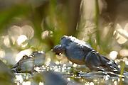 During their mating season the male moor frogs (Rana arvalis) show a distinctive blue coloration. They gather in shallow ponds which quickly warm up in spring.  | Der Moorfrosch (Rana arvalis) trift sich zur Laichzeit in flachen Randbereichen von Teichen und Seen. Das Wasser wärmt sich hier besonders schnell auf und die Tiere begeben sich zwischen dem ersten Froschlaich weiter auf Partnersuche. Selent, Deutschland