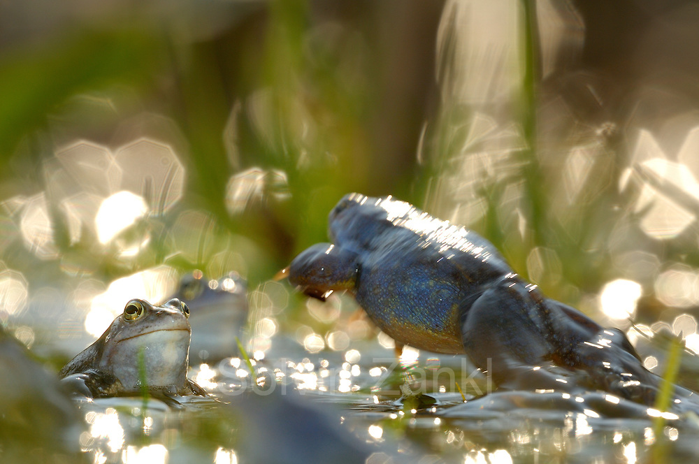 Moor Frog (Rana arvalis), male   Moorfrosch (Rana arvalis)