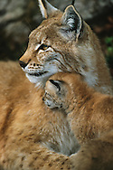 Eurasian Lynx female and kitten, Lynx lynx, captive, Langedrag, Norway