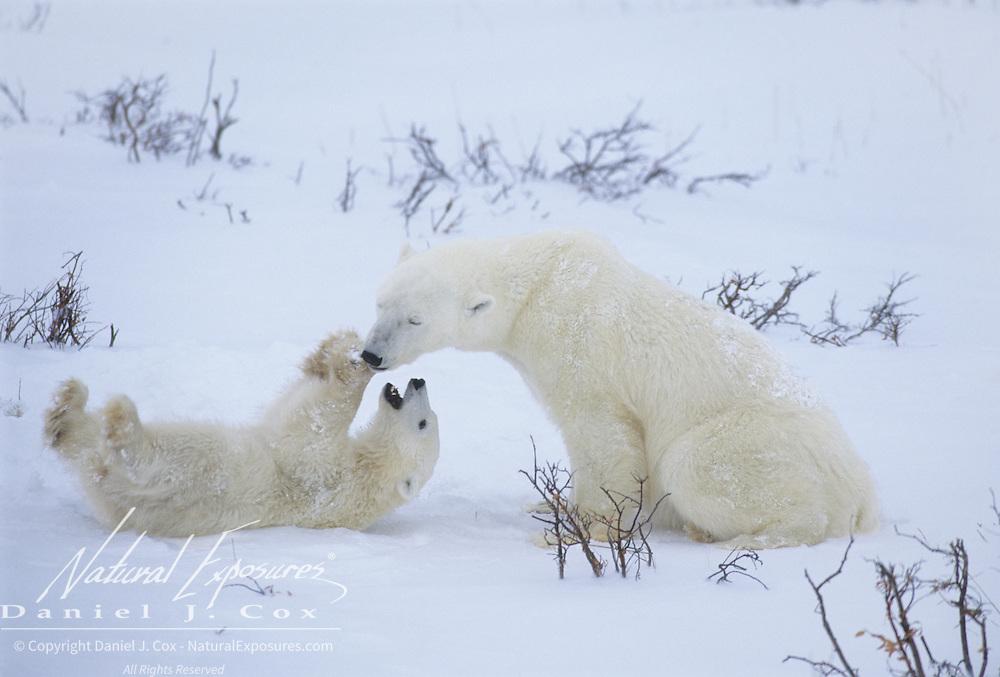 Polar Bear mother and cub in Hudson Bay; Canada.