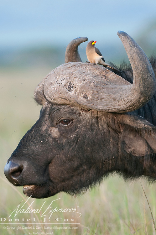 Cape Buffalo (Syncerus caffer) and Yellow-billed Oxpecker (Buphagus africanus). Masai Mara National Reserve, Kenya, Africa