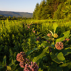 Milkweed blooms in a field on the edge of the Green Mountains in Duxbury, Vermont.