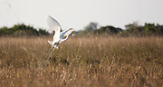 Cattle Egret taking off from reed bed, Okavango Delta.