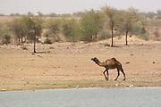 India, Rajasthan, Jaisalmer, A camel on the shores of Gadi Sagar lake