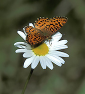 Arctic fritillary butterfly feeding on a scentless chamomile flower.
